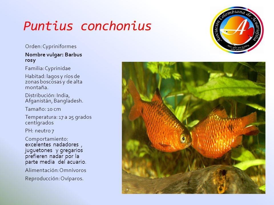 Puntius conchonius Orden: Cypriniformes Nombre vulgar: Barbus rosy
