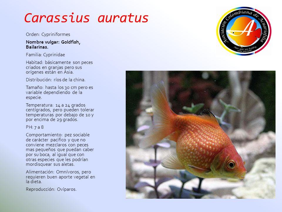 Carassius auratus Orden: Cypriniformes