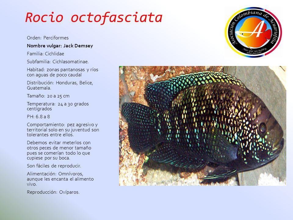 Rocio octofasciata Orden: Perciformes Nombre vulgar: Jack Demsey