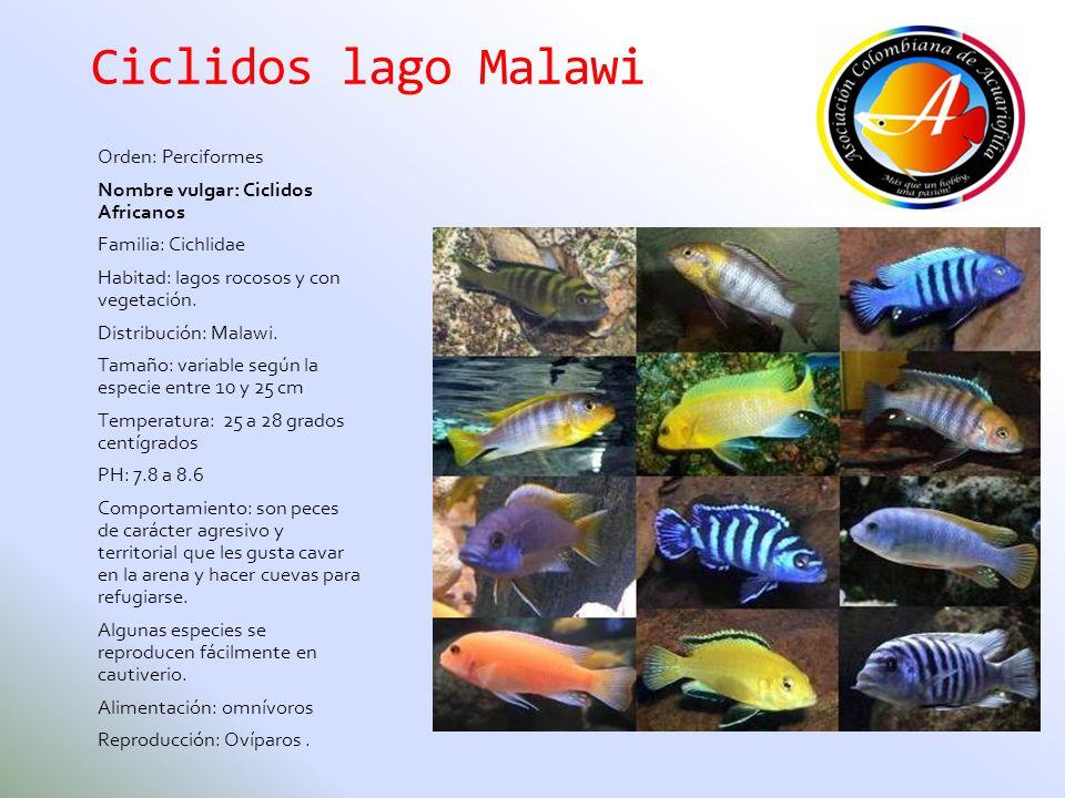Ciclidos lago Malawi Orden: Perciformes