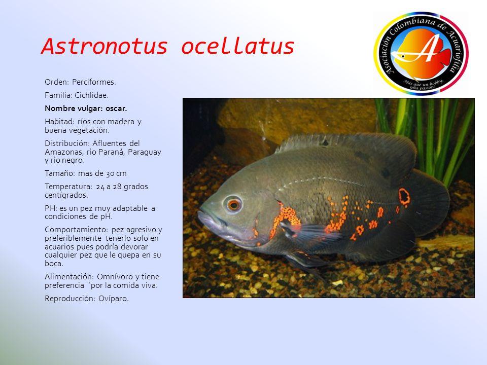 Astronotus ocellatus Orden: Perciformes. Familia: Cichlidae.