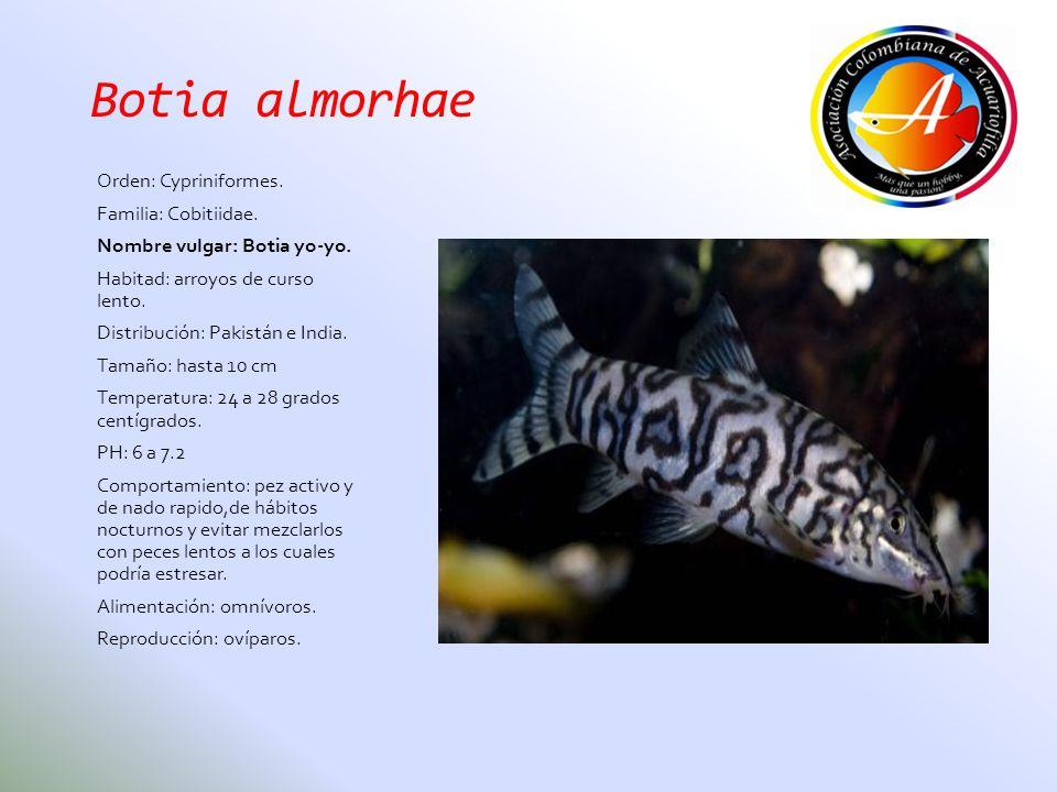 Botia almorhae Orden: Cypriniformes. Familia: Cobitiidae.