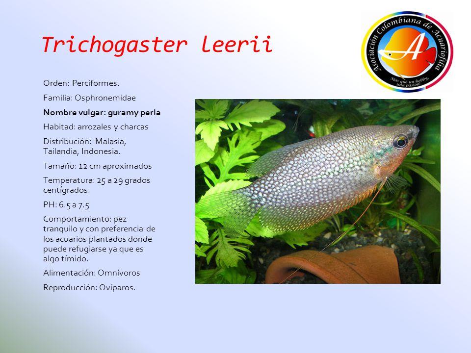 Trichogaster leerii Orden: Perciformes. Familia: Osphronemidae