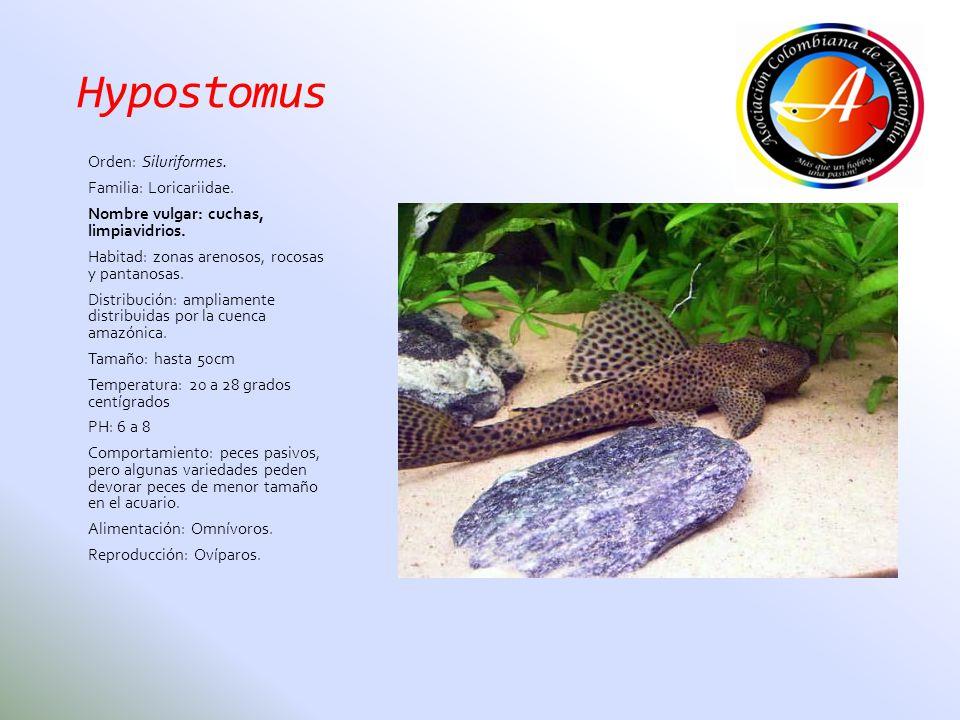 Hypostomus Orden: Siluriformes. Familia: Loricariidae.