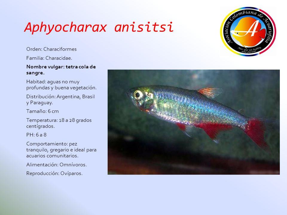 Aphyocharax anisitsi Orden: Characiformes Familia: Characidae.