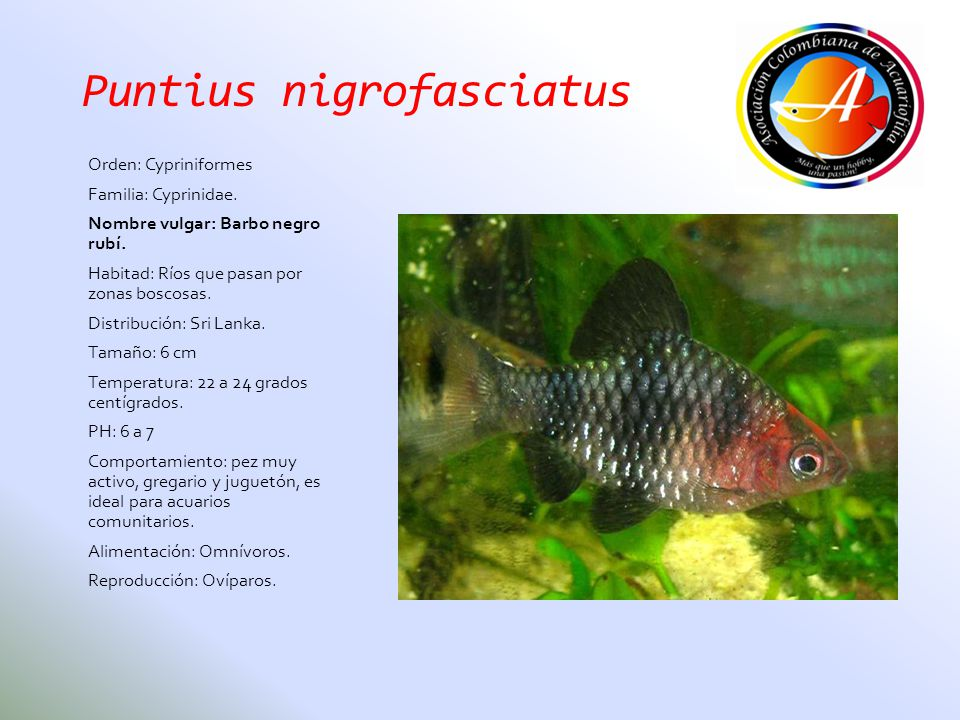Puntius nigrofasciatus