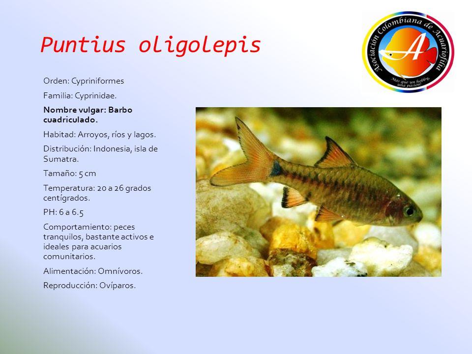 Puntius oligolepis Orden: Cypriniformes Familia: Cyprinidae.