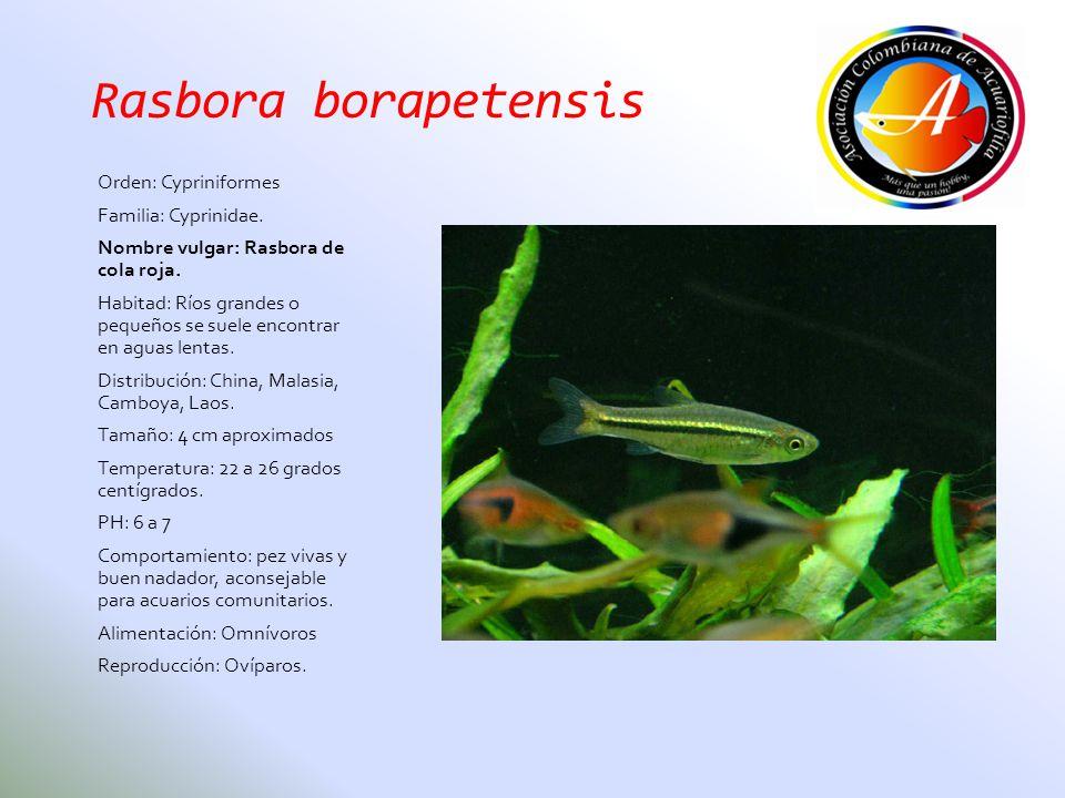 Rasbora borapetensis Orden: Cypriniformes Familia: Cyprinidae.