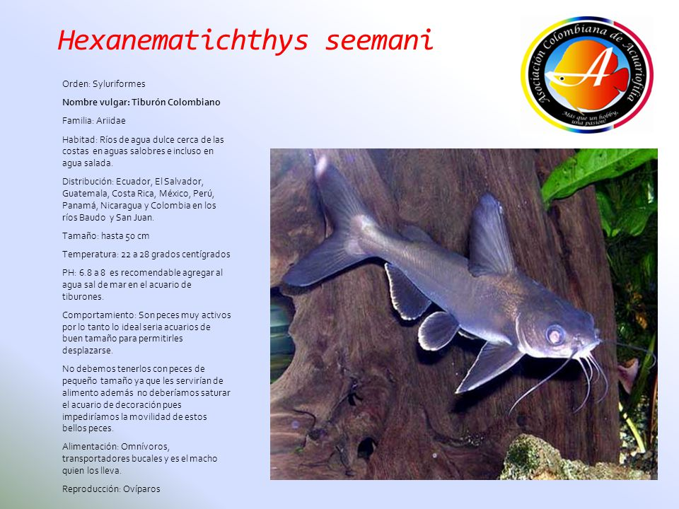 Hexanematichthys seemani