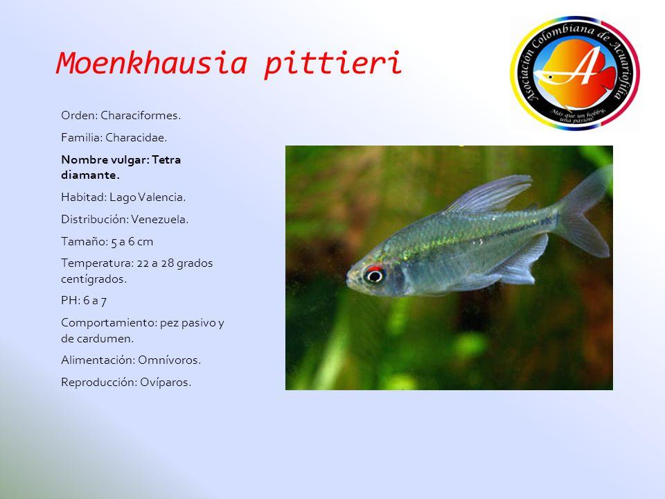 Moenkhausia pittieri Orden: Characiformes. Familia: Characidae.