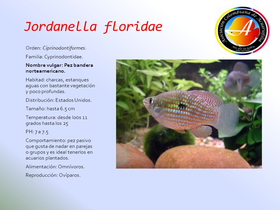 Jordanella floridae Orden: Ciprinodontiformes.