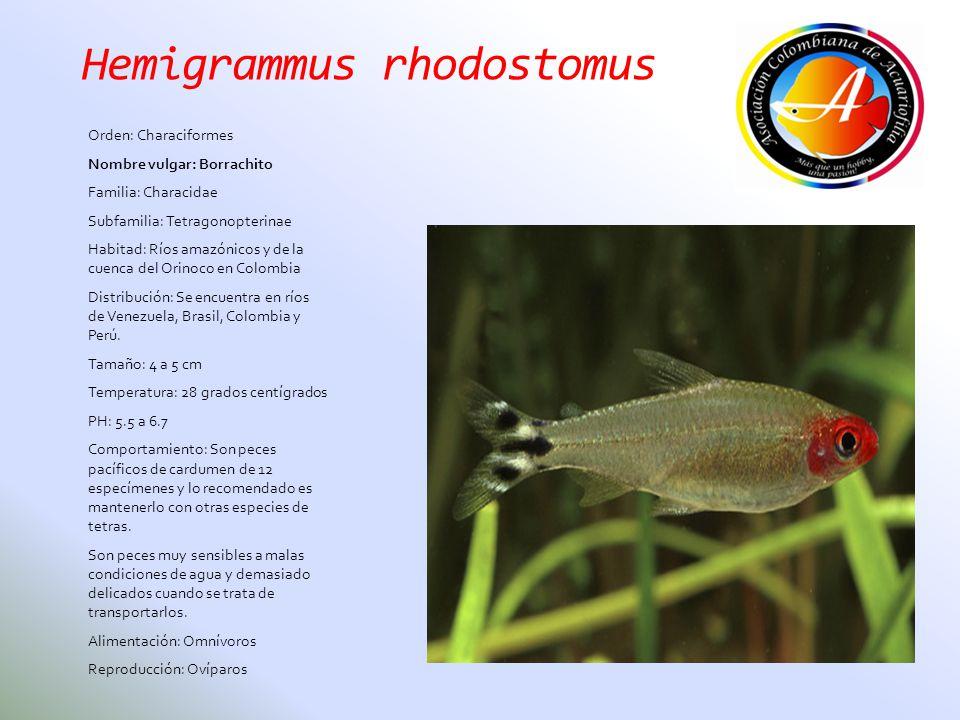 Hemigrammus rhodostomus