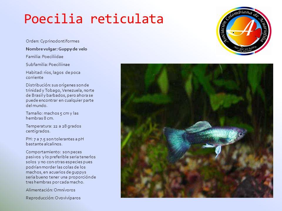 Poecilia reticulata Orden: Cyprinodontiformes