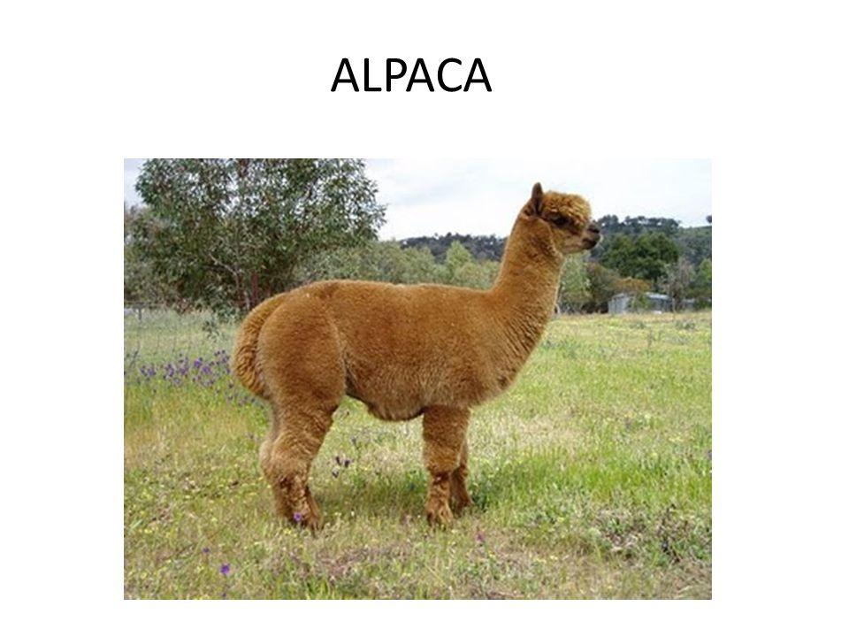 El imperio inca ppt video online descargar for Terrazas 14 vicuna