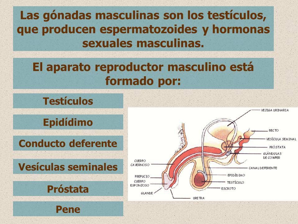 El aparato reproductor masculino está formado por: