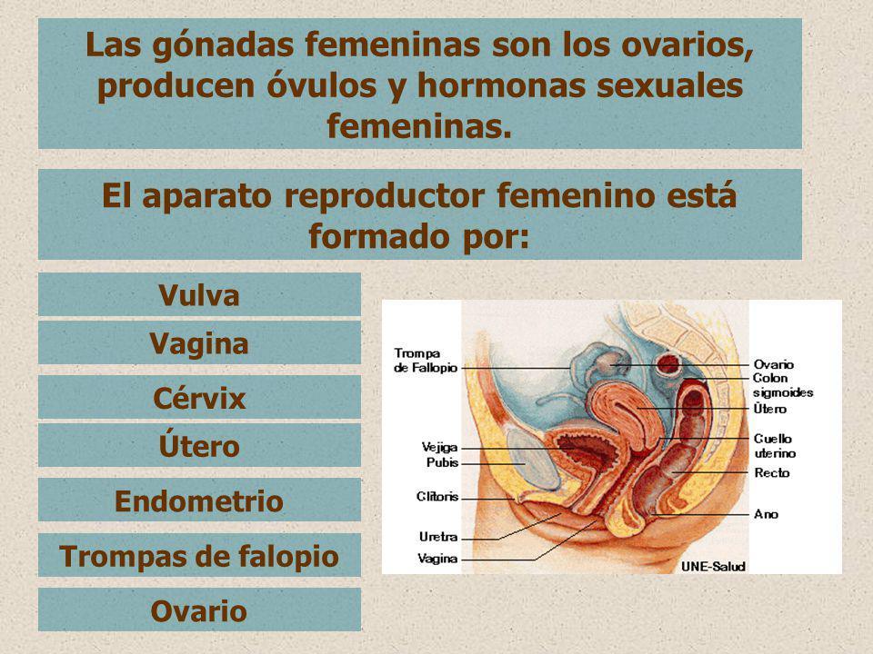 El aparato reproductor femenino está formado por: