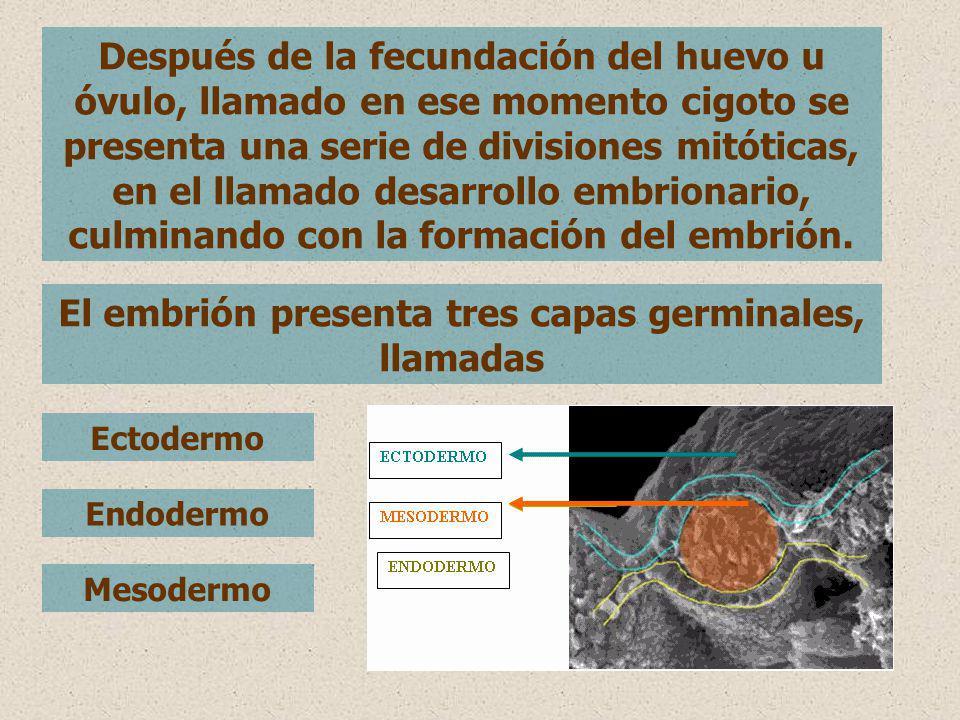 El embrión presenta tres capas germinales, llamadas