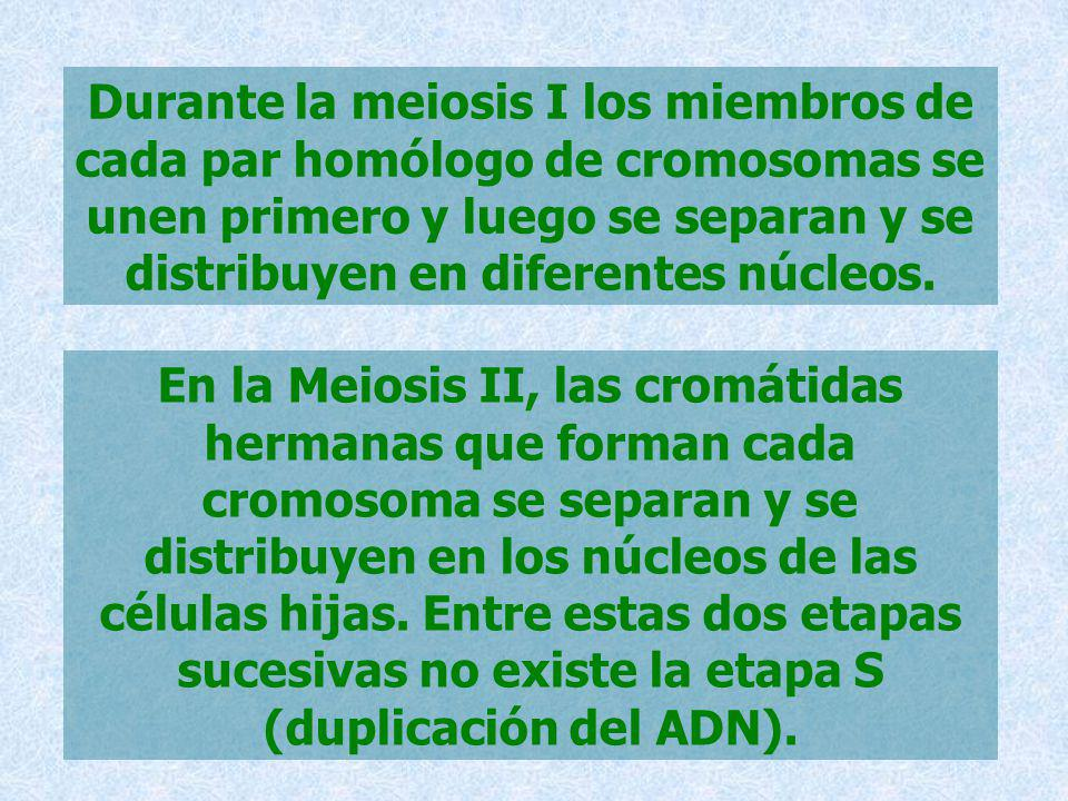 Durante la meiosis I los miembros de cada par homólogo de cromosomas se unen primero y luego se separan y se distribuyen en diferentes núcleos.