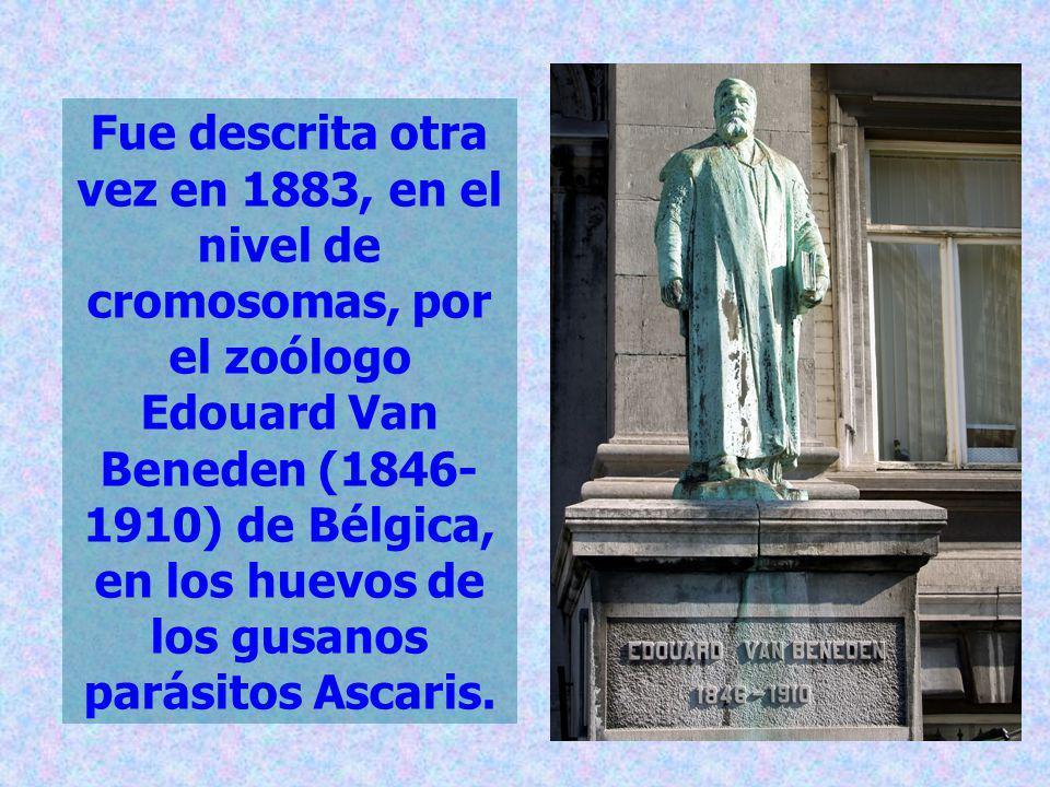 Fue descrita otra vez en 1883, en el nivel de cromosomas, por el zoólogo Edouard Van Beneden (1846-1910) de Bélgica, en los huevos de los gusanos parásitos Ascaris.