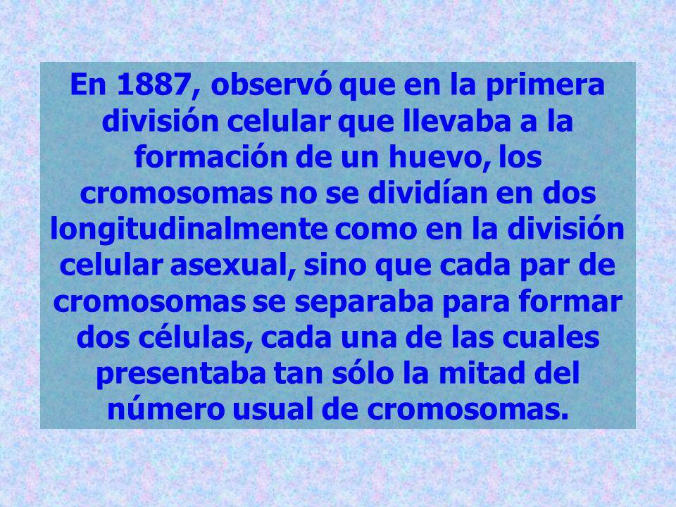 En 1887, observó que en la primera división celular que llevaba a la formación de un huevo, los cromosomas no se dividían en dos longitudinalmente como en la división celular asexual, sino que cada par de cromosomas se separaba para formar dos células, cada una de las cuales presentaba tan sólo la mitad del número usual de cromosomas.