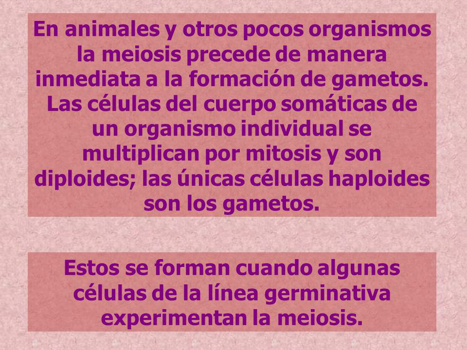 En animales y otros pocos organismos la meiosis precede de manera inmediata a la formación de gametos. Las células del cuerpo somáticas de un organismo individual se multiplican por mitosis y son diploides; las únicas células haploides son los gametos.