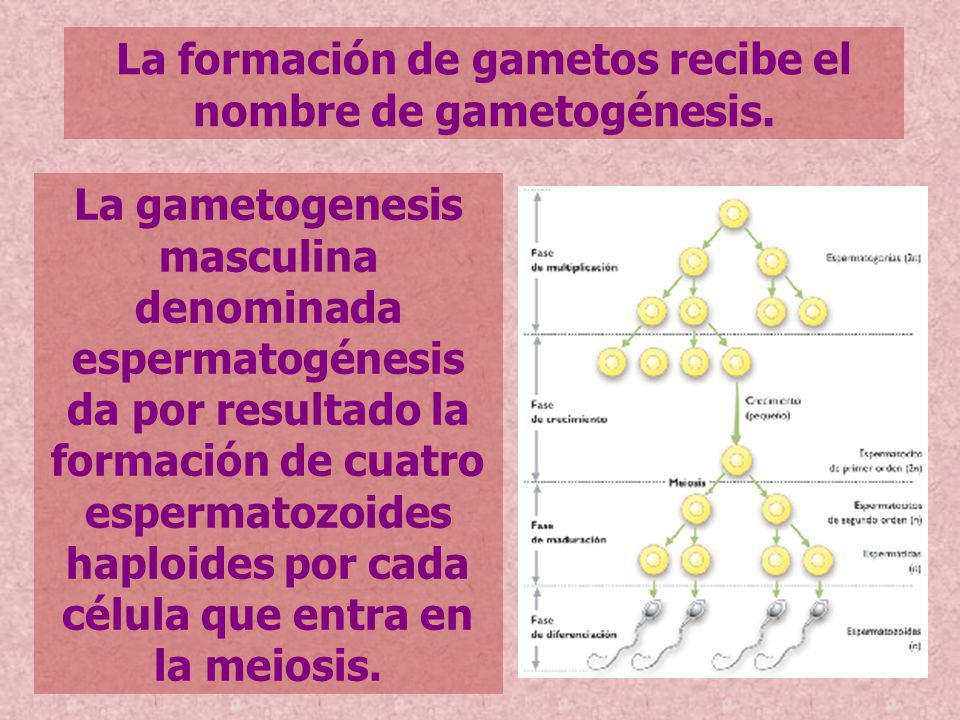 La formación de gametos recibe el nombre de gametogénesis.