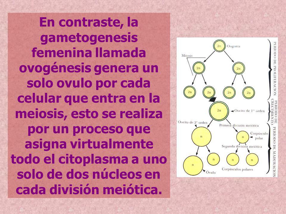 En contraste, la gametogenesis femenina llamada ovogénesis genera un solo ovulo por cada celular que entra en la meiosis, esto se realiza por un proceso que asigna virtualmente todo el citoplasma a uno solo de dos núcleos en cada división meiótica.