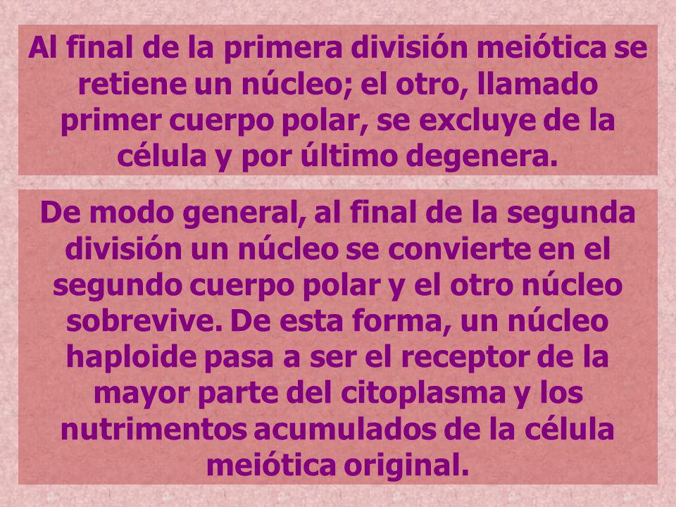 Al final de la primera división meiótica se retiene un núcleo; el otro, llamado primer cuerpo polar, se excluye de la célula y por último degenera.