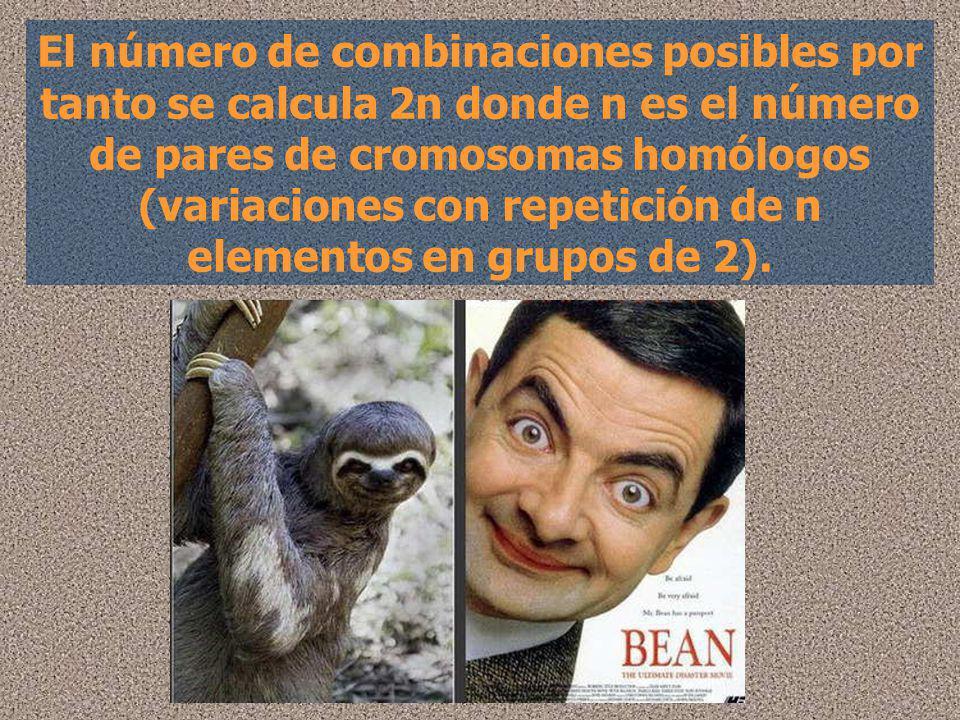 El número de combinaciones posibles por tanto se calcula 2n donde n es el número de pares de cromosomas homólogos (variaciones con repetición de n elementos en grupos de 2).