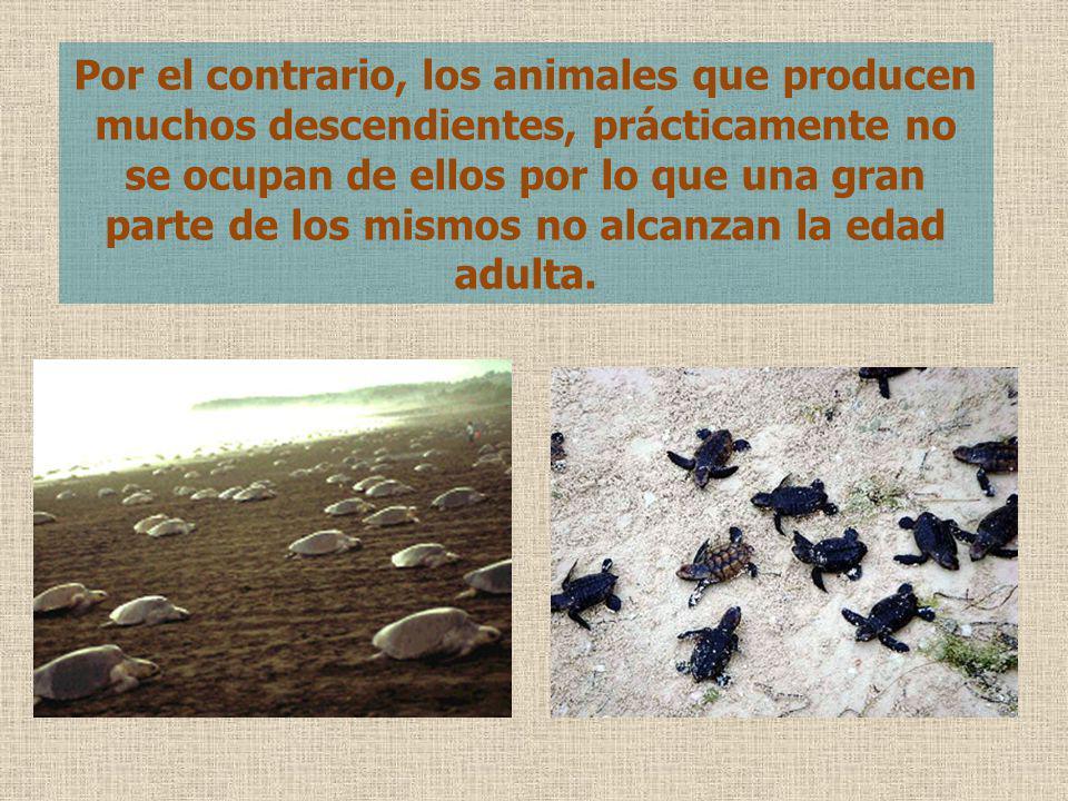 Por el contrario, los animales que producen muchos descendientes, prácticamente no se ocupan de ellos por lo que una gran parte de los mismos no alcanzan la edad adulta.
