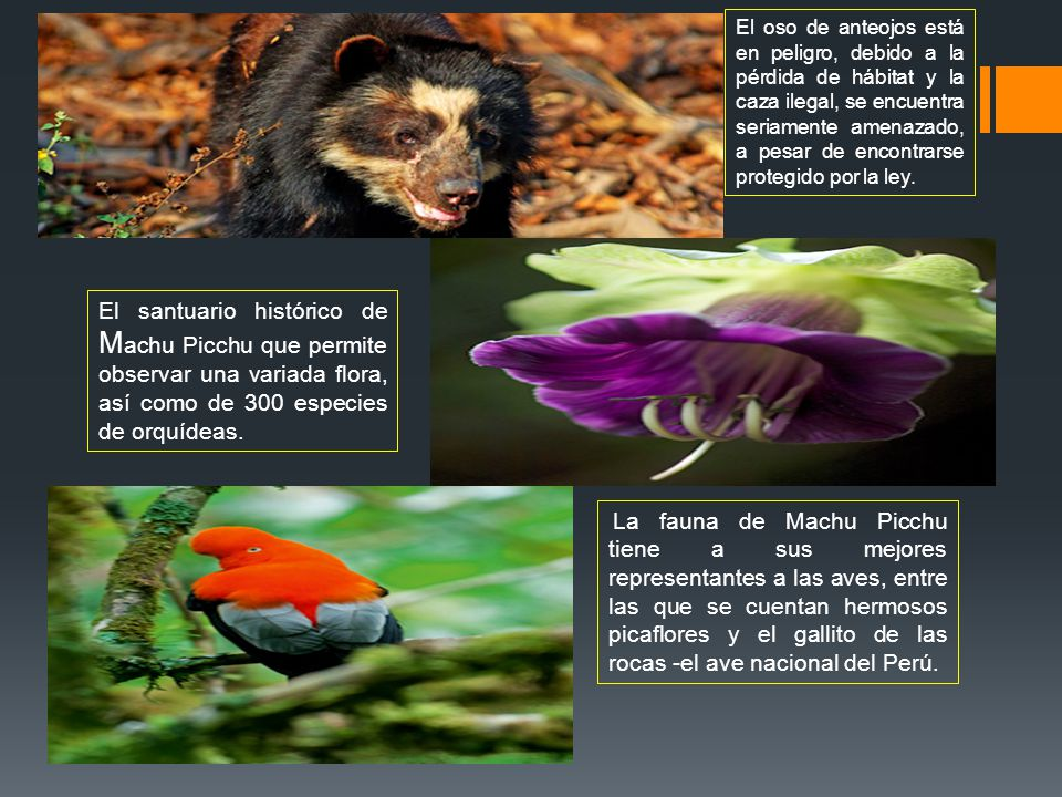El oso de anteojos está en peligro, debido a la pérdida de hábitat y la caza ilegal, se encuentra seriamente amenazado, a pesar de encontrarse protegido por la ley.