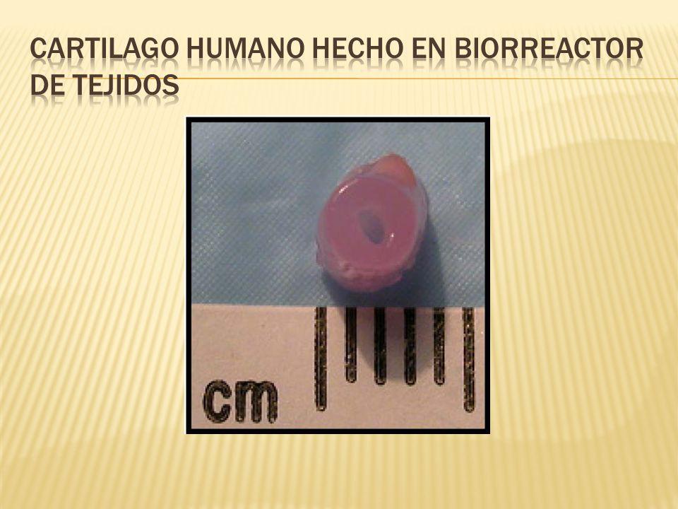 Cartilago humano hecho en biorreactor de tejidos