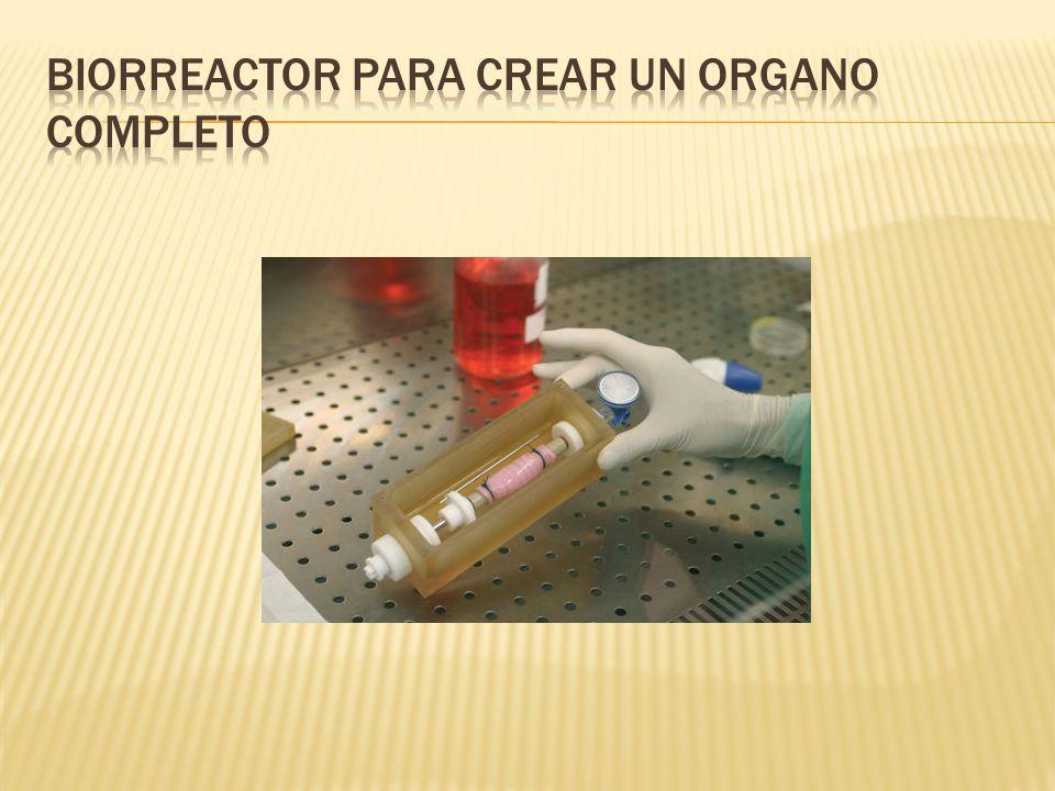 Biorreactor para crear un organo completo
