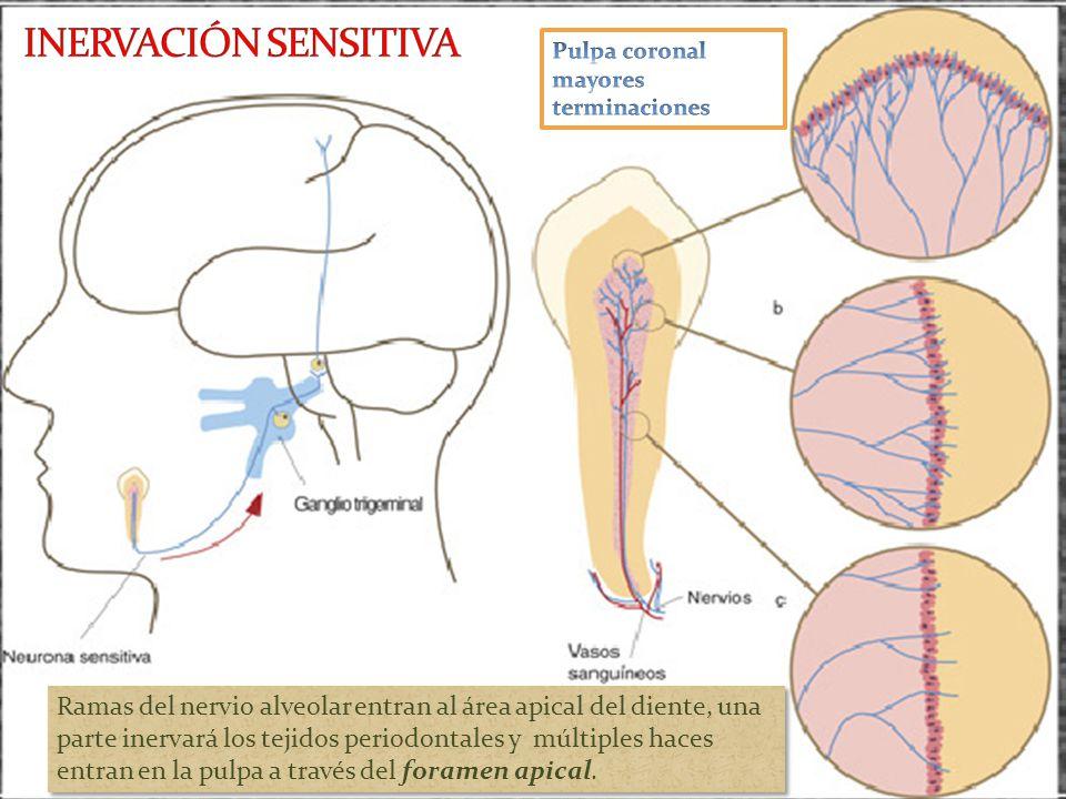 INERVACIÓN SENSITIVA Pulpa coronal mayores terminaciones.