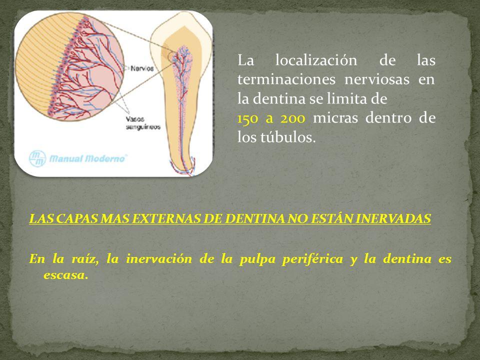 150 a 200 micras dentro de los túbulos.