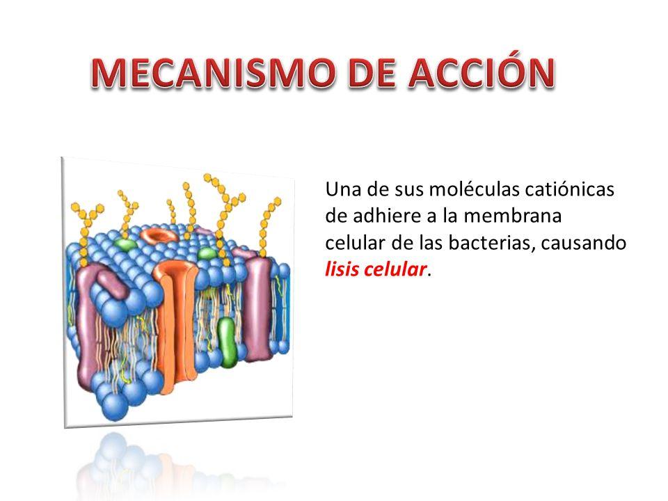 MECANISMO DE ACCIÓN Una de sus moléculas catiónicas de adhiere a la membrana celular de las bacterias, causando lisis celular.