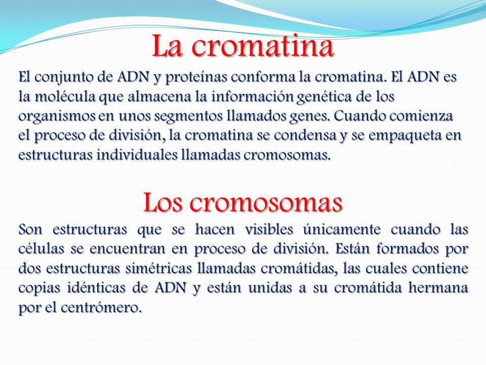 La cromatina Los cromosomas