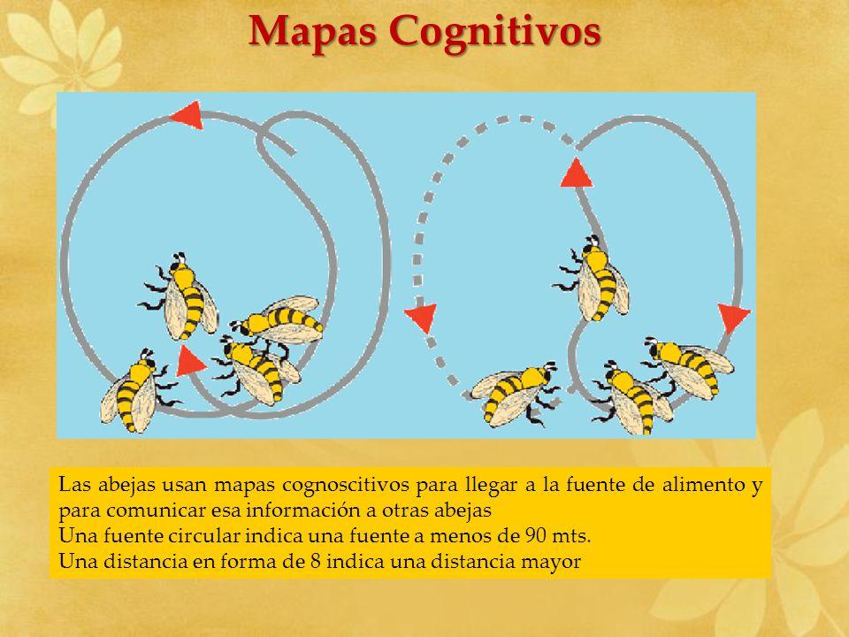 Mapas Cognitivos Las abejas usan mapas cognoscitivos para llegar a la fuente de alimento y para comunicar esa información a otras abejas.