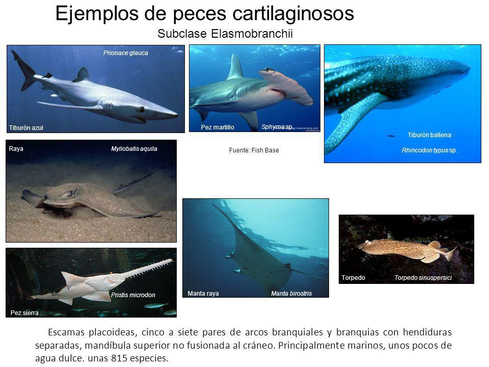 Ejemplos de peces cartilaginosos