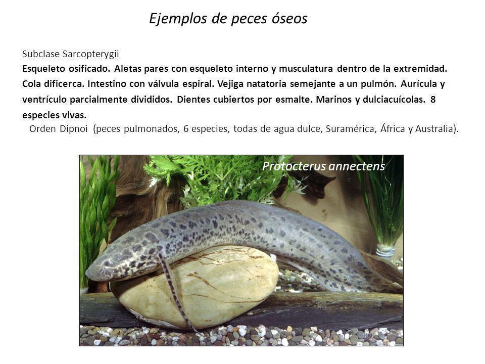 Ejemplos de peces óseos