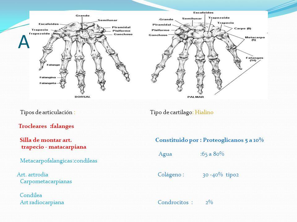 Anatomía implicada Tipos de articulación : Tipo de cartilago: Hialino