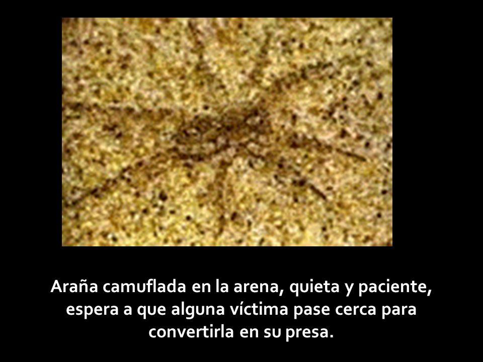 Araña camuflada en la arena, quieta y paciente, espera a que alguna víctima pase cerca para convertirla en su presa.