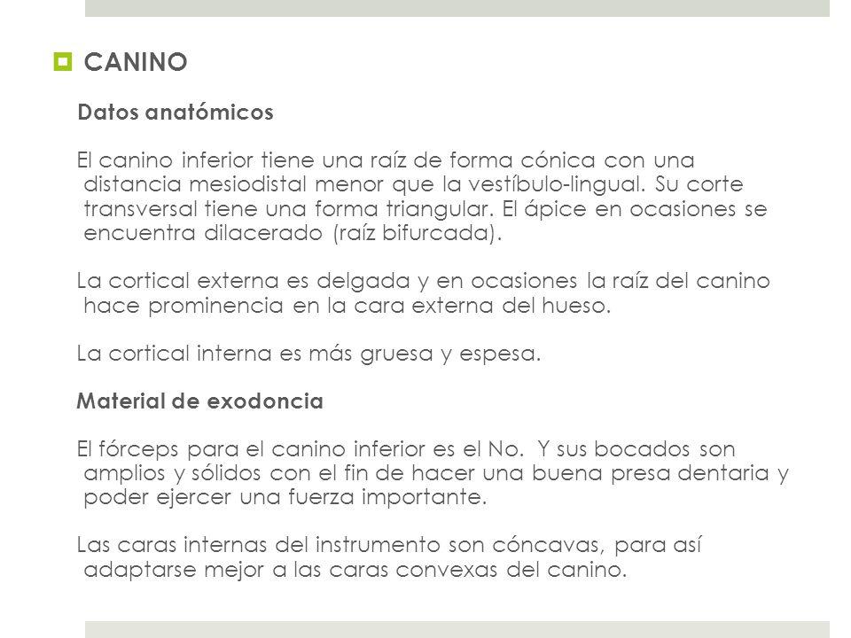 CANINO Datos anatómicos