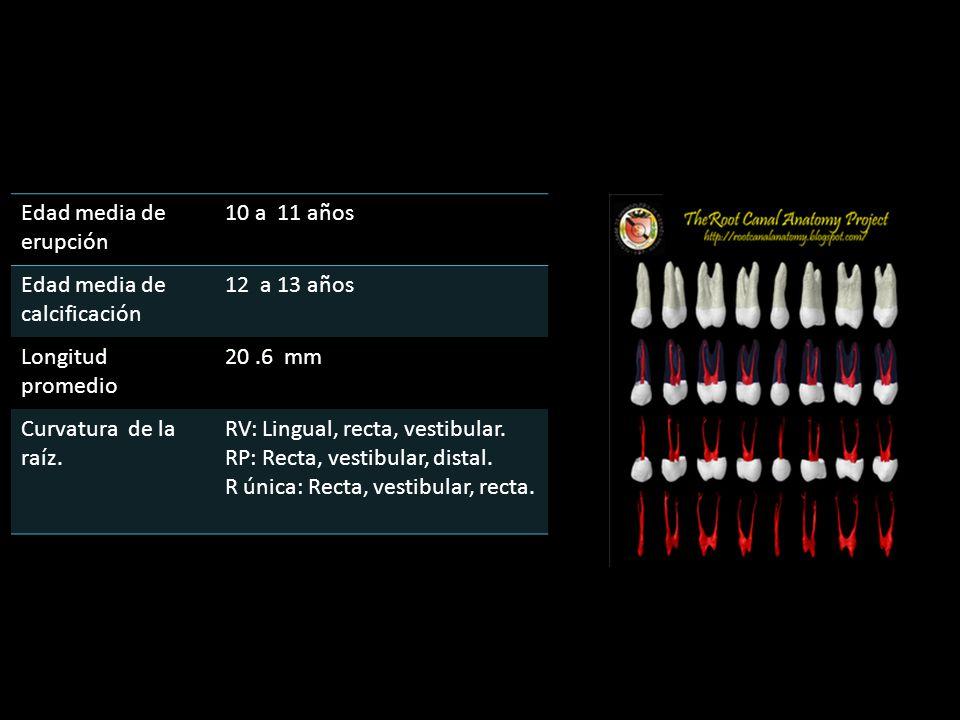 Edad media de erupción 10 a 11 años. Edad media de calcificación. 12 a 13 años. Longitud promedio.