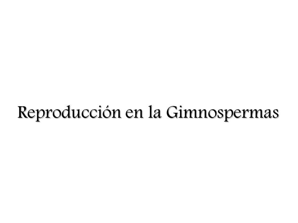 Reproducción en la Gimnospermas