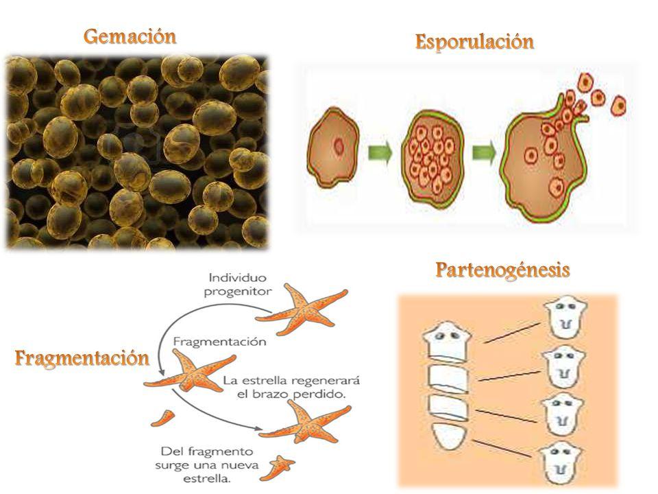 Gemación Esporulación Partenogénesis Fragmentación