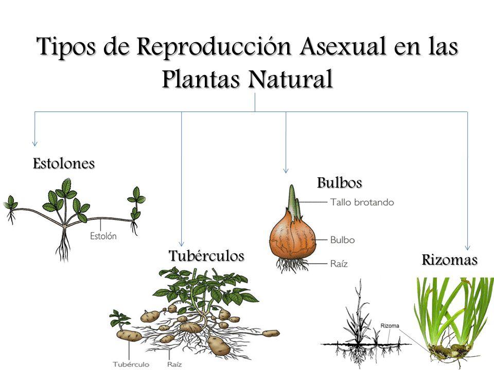 Tipos de Reproducción Asexual en las Plantas Natural