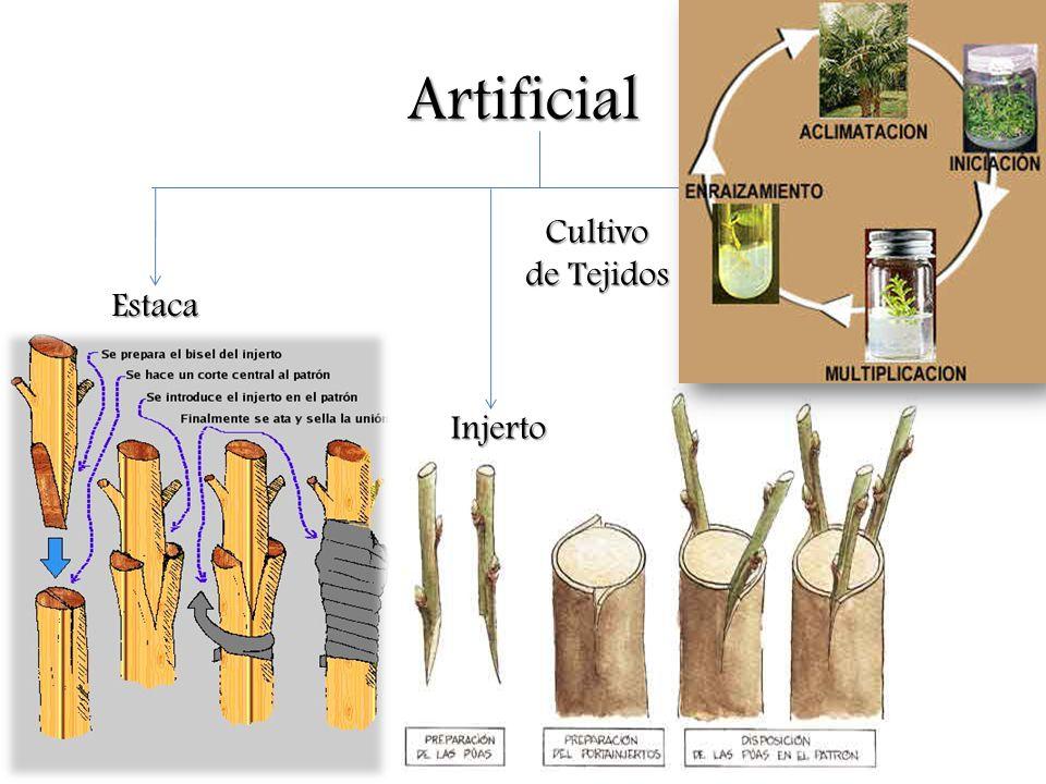 Artificial Cultivo de Tejidos Estaca Injerto