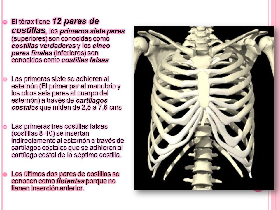 El tórax tiene 12 pares de costillas, los primeros siete pares (superiores) son conocidas como costillas verdaderas y los cinco pares finales (inferiores) son conocidas como costillas falsas