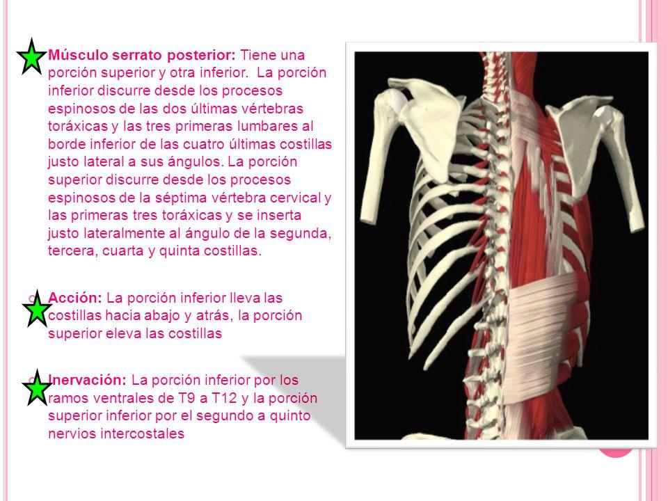 Músculo serrato posterior: Tiene una porción superior y otra inferior